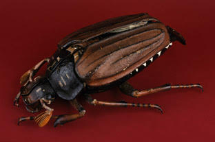 Papier-mache and plaster model of a May beetle.