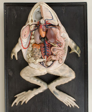 Top view of dissected frog anatomical model