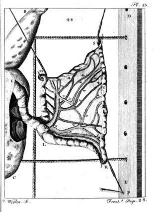 Illustration showing detail of a frog dissection