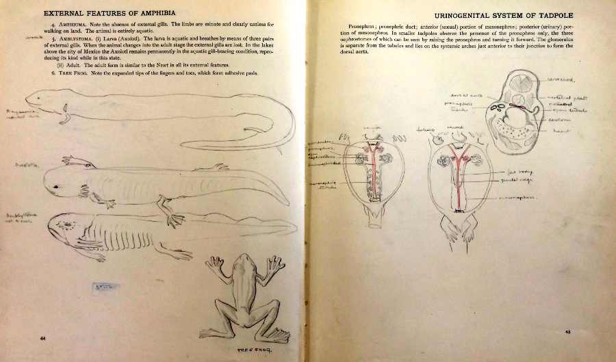 Pages from a notebook for comparative anatomy of vertebrates, showing the external features of amphibia and the urogenital system of the tadpole