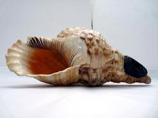 Shell trumpet, collected on Tahiti or neighbouring island on Cook's first voyage