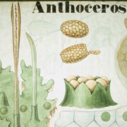 Botanical teaching poster showing various diagrams of the plant genus Anthoceros
