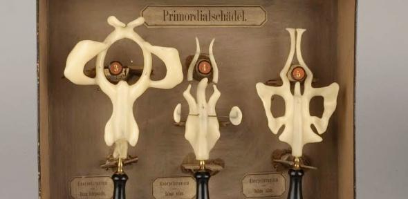 Wax models of frog, salmon and axolotl 'primordial skulls'.