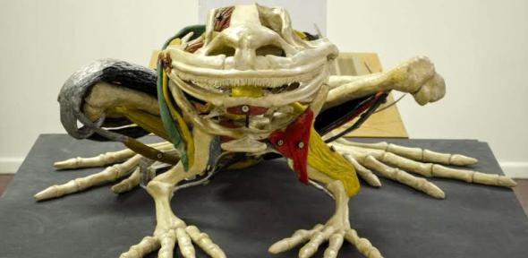 Plaster and wax frog anatomical model